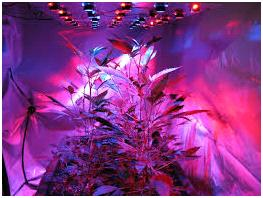 best grow lights for marijuana growth stages we will tell you. Black Bedroom Furniture Sets. Home Design Ideas