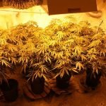 how to grow hydroponic weed