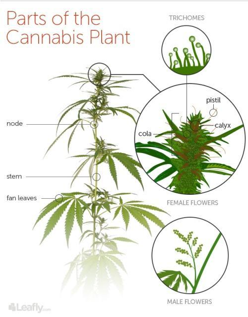 parts of cannabis sativa and its uses growing marijuana blog. Black Bedroom Furniture Sets. Home Design Ideas