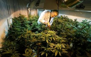 How Cannabis is Cultivated