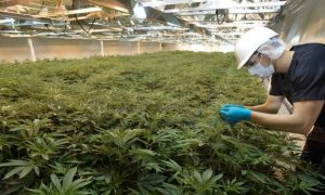 Common Mistakes Marijuana Growers Make