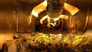How To Grow Marijuana Plants Indoors