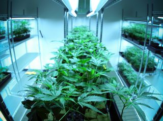 Grow In Hydro The Do's & Don'ts In Marijuana Hydroponics