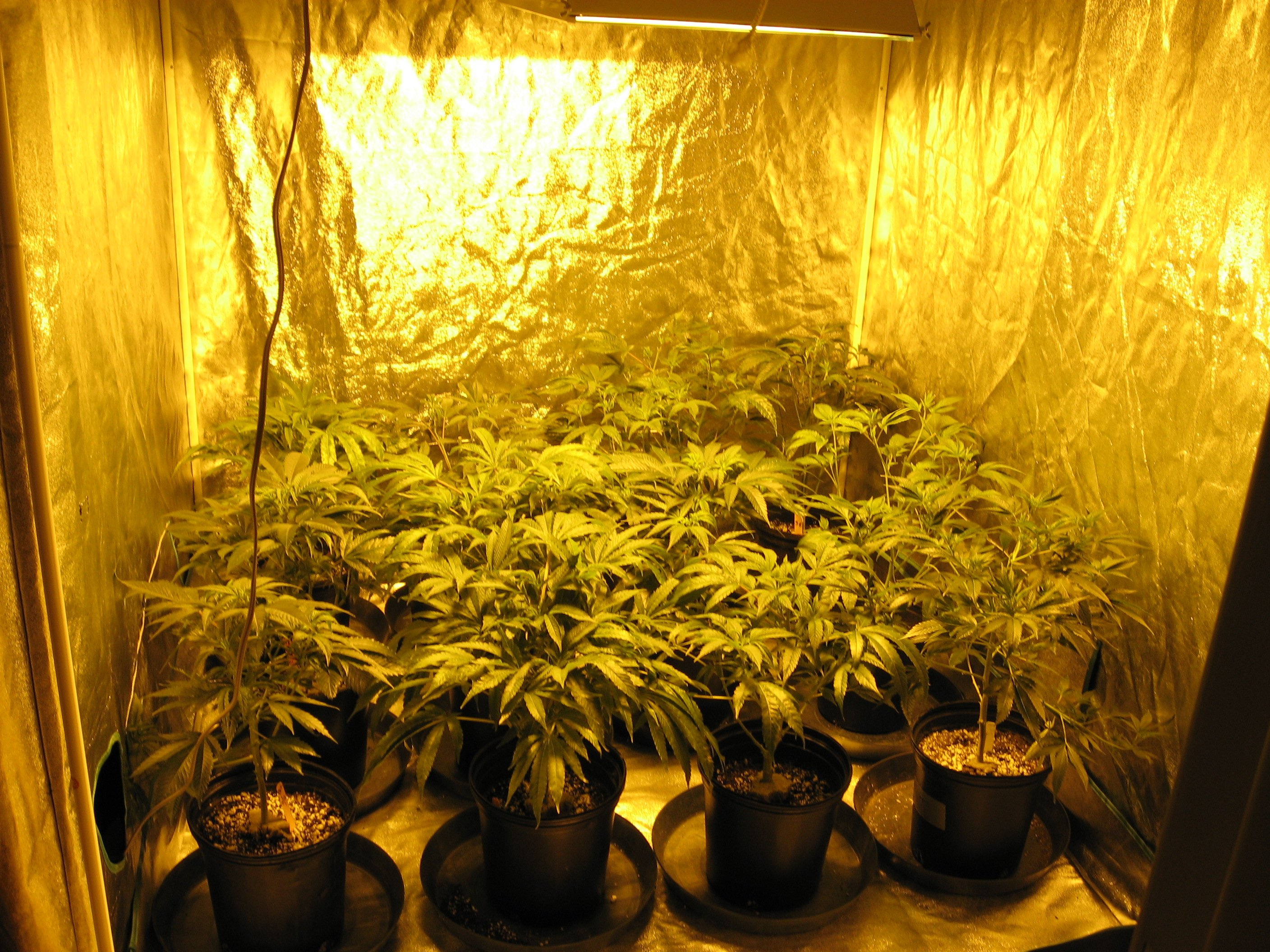Go Glow Grow Advantages Of Marijuana Indoor Grow Room