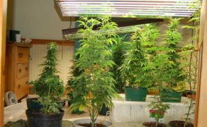 growing marijuana indoors