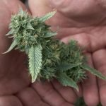 Important Tips in Harvesting Marijuana