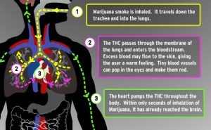 marijuana stay in the body