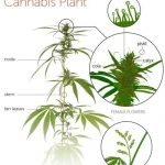 Parts of Cannabis Sativa and its uses: Know Thy Weed