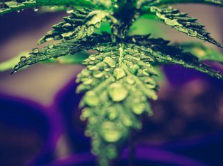 Marijuana The Misunderstood Plant