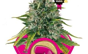 Royal Moby Marijuana Seeds