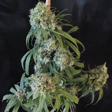 Apollo 13 Marijuana Strain