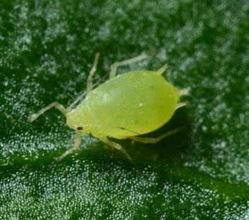 Different Types Of Weed Pests And Bugs