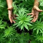 Marijuana: Cure for AIDS?