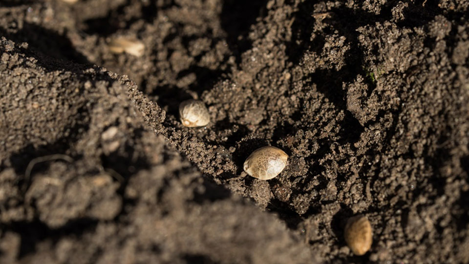 Germinate marijuana seeds in soil