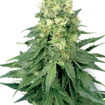 Chemdawg Feminized Medical Strain