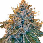 Kosher Kush Feminized