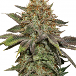 Fruit Autoflower Seeds