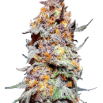 Granddaddy Purple thc strain