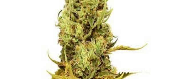Golden Coat Marijuana