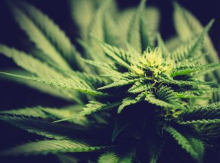 The Best Marijuana Indica Strains