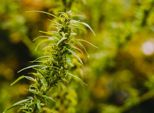What Are the Medicinal Benefits of Sativa Strains